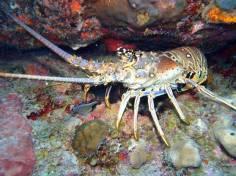 Caribbean Lobster