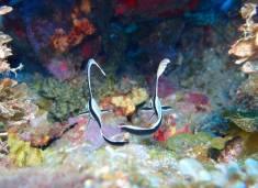 Juvenile Drum Fish