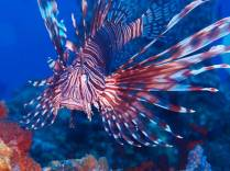 Lion Fish in Focus by Cathy Ulrich