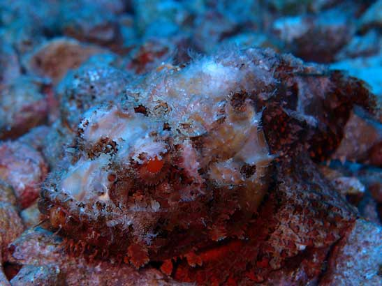 Scorpion Fish well disguised