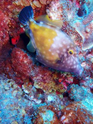 Spotted Filefish