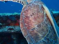 Turtle shell (as he swam by)