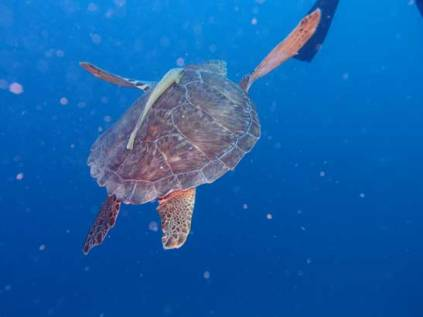 Turtle with Remora Hitchhiking