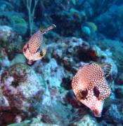 Two Trunkfish