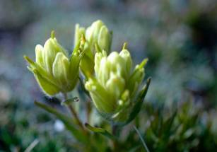 Alpine Paintbrush by Cathy Ulrich