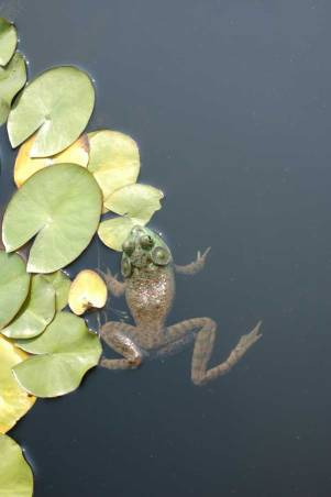 Lilly Pad Frog by Cathy Ulrich