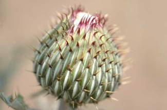 Thistle Bud by Cathy Ulrich