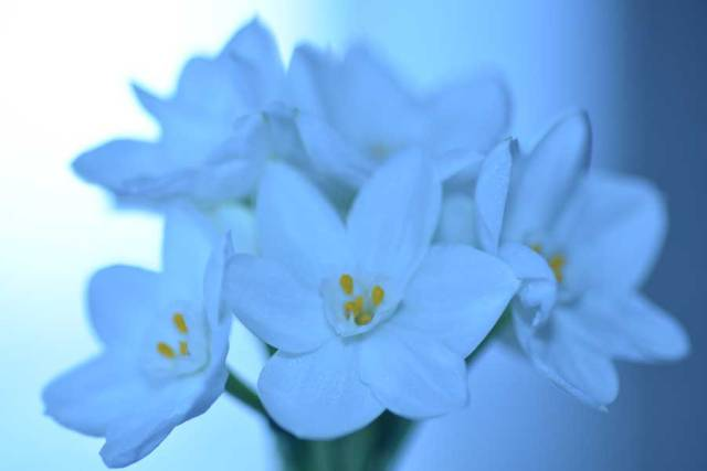 Paperwhite Narcissus by Cathy Ulrich