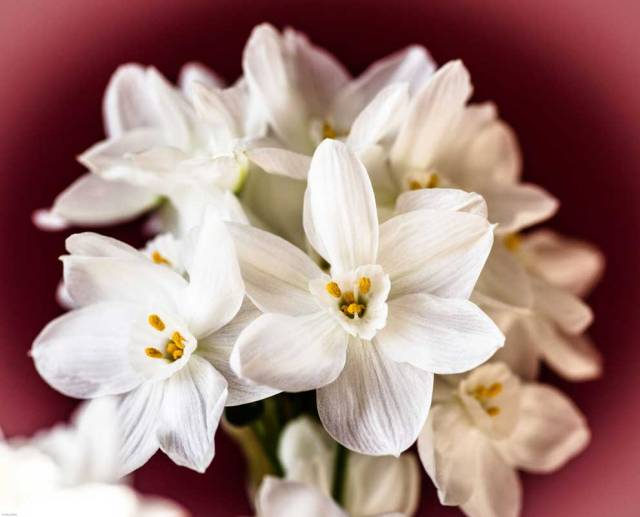 Winter paperwhites by Cathy Ulrich