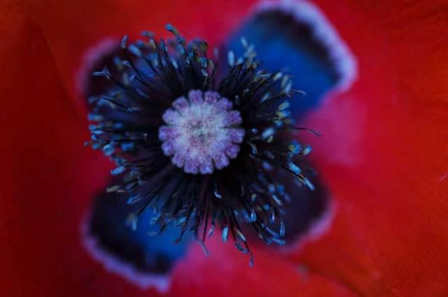 Poppy Cross by Cathy Ulrich