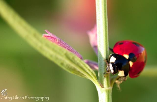 Ladybug's Pose