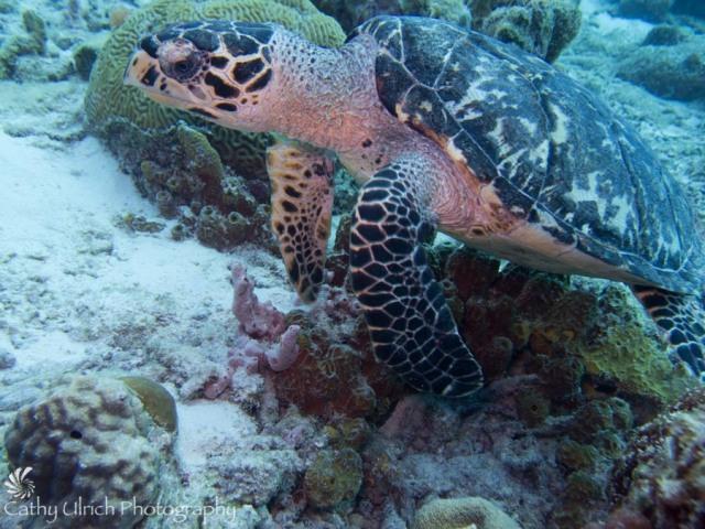 Bari Reef Turtle