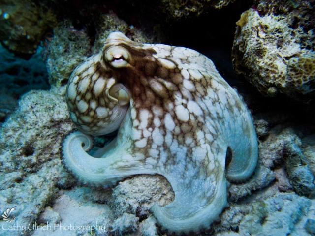 Bonaire Caribbean Octopus