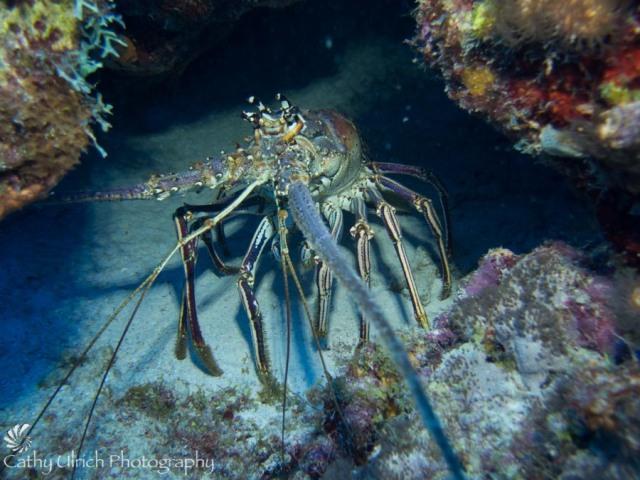 Bonaire Lobster