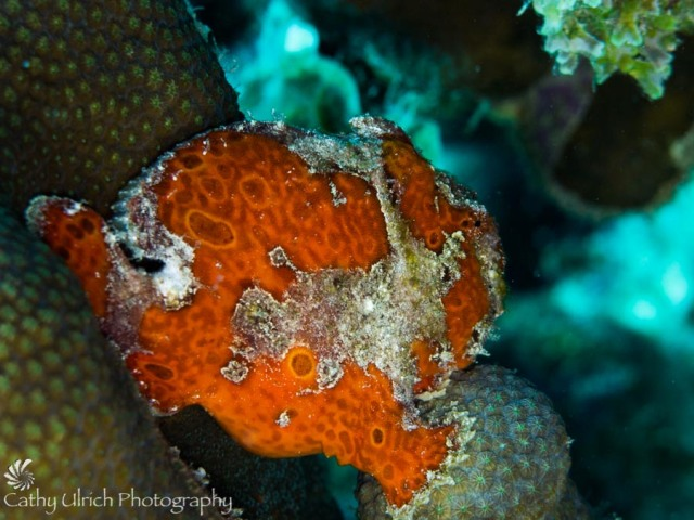 Freddie the Frogfish