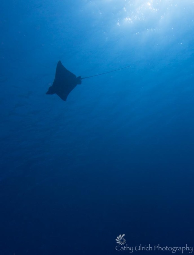 Eagle Ray's Flight