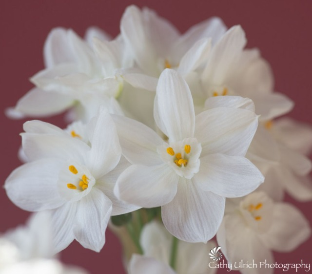 Sweet Narcissus