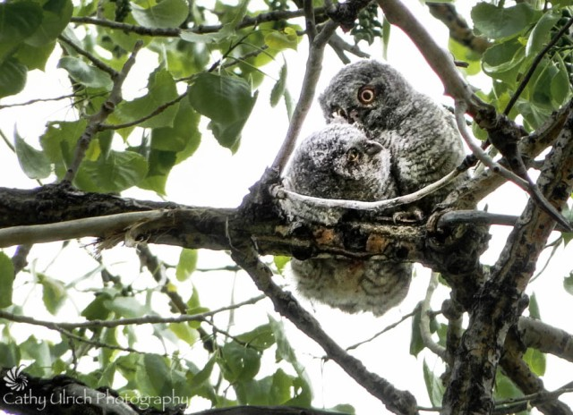 Baby Screech Owls