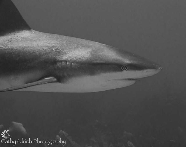 Minimalist Shark