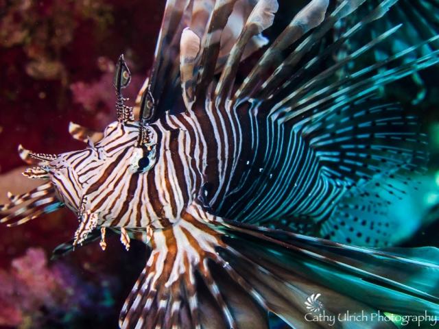 Lionfish Expressing