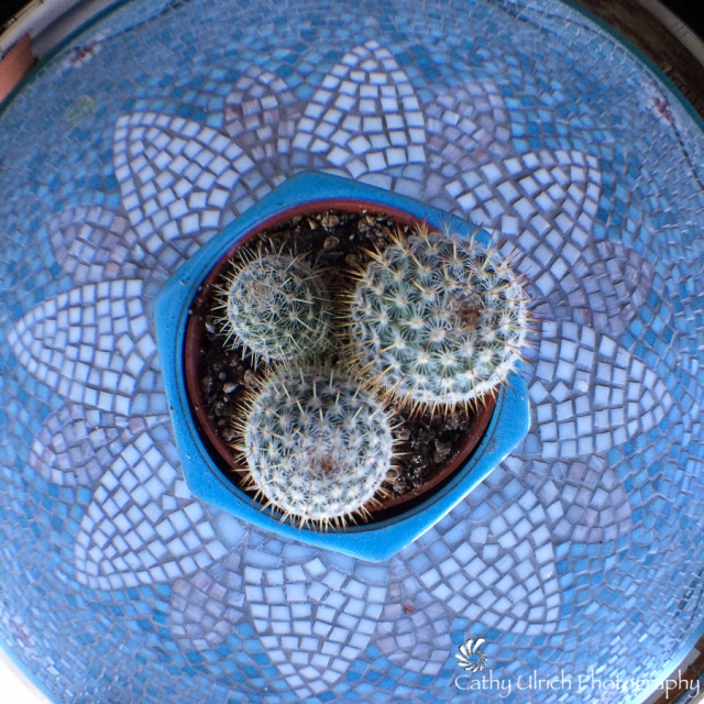 Spiny Cactus Fisheye