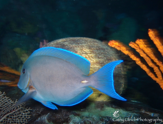 Blue Tang in Motion