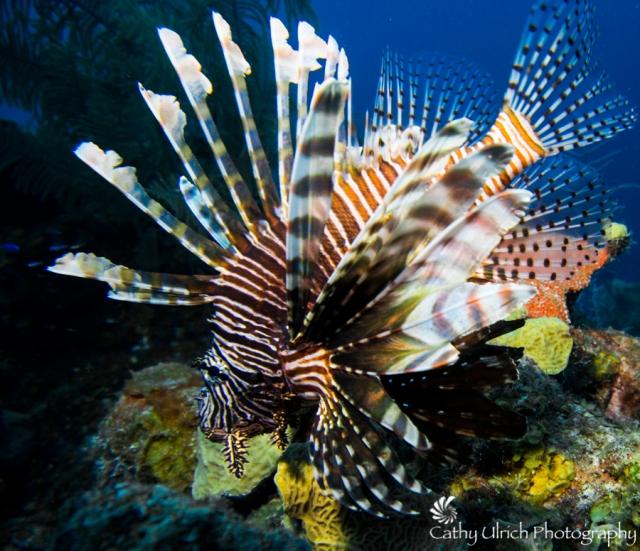 Vivid Lionfish