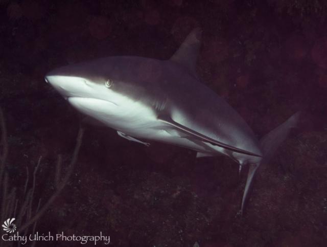 Gray Reef Shark