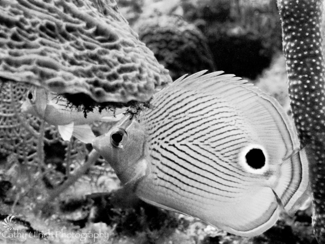 Four Eyes Butterfly Fish